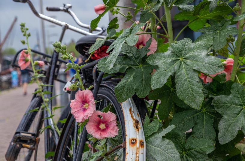 nederlandse fiets geparkeerd tussen stokrozen